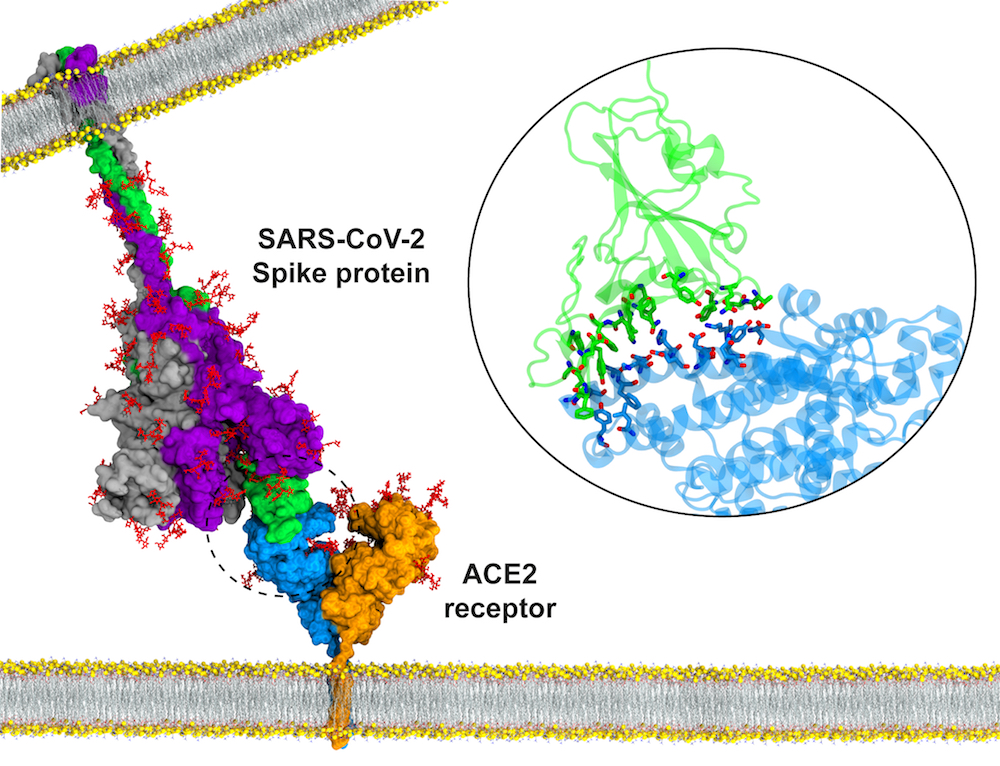 Hidden States of the COVID-19 Spike Protein - Latest News - Texas Advanced  Computing Center